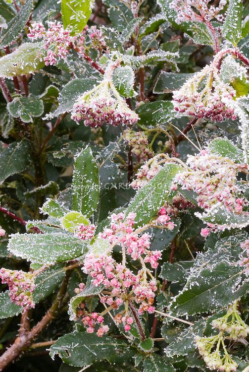 Viburnum tinus 'Gwenllian' AGM shrub in winter frost