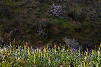 Streptanthus inflatus or Caulanthus inflatus, Desert Candle, California native wildflower spring superbloom on ridge in Carrizo Plains National Monument, California