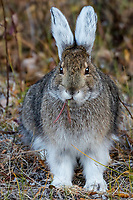 Snowshoe Hare or Varying Hare (Lepus americanus).  Yukon Territory, Fall.  Hare is changing color from summer browns and grays to winter white.