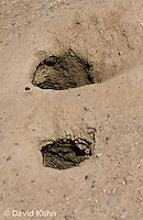 0601-1031  Two Entrances to Underground Burrow, Black-tailed Prairie Dogs, Cynomys ludovicianus  © David Kuhn/Dwight Kuhn Photography