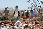 North Seymour Island, Galapagos, Ecuador; a Blue-footed Booby (Sula nebouxii) stands on a rock in search of a mate while tourists pass by on the walking path , Copyright © Matthew Meier, matthewmeierphoto.com All Rights Reserved