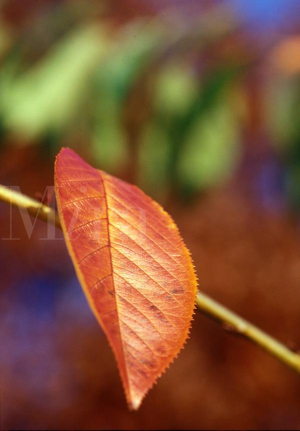 Red leaf in fall.