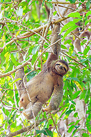 brown-throated three-toed sloth, Bradypus variegatus, Manuel Antonio National Park, Costa Rica