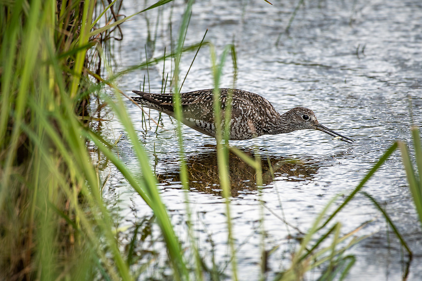 A greater yellowlegs catches sticklebacks in a marsh in Anchorage, Alaska.