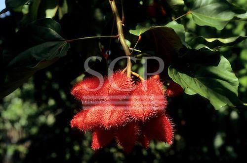 Amapa, Brazil. Spiny seed pods of Urucum (Bixa orellana).