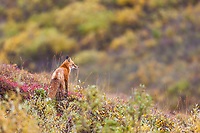 Red fox stands on the autumn tundra in Denali National Park.