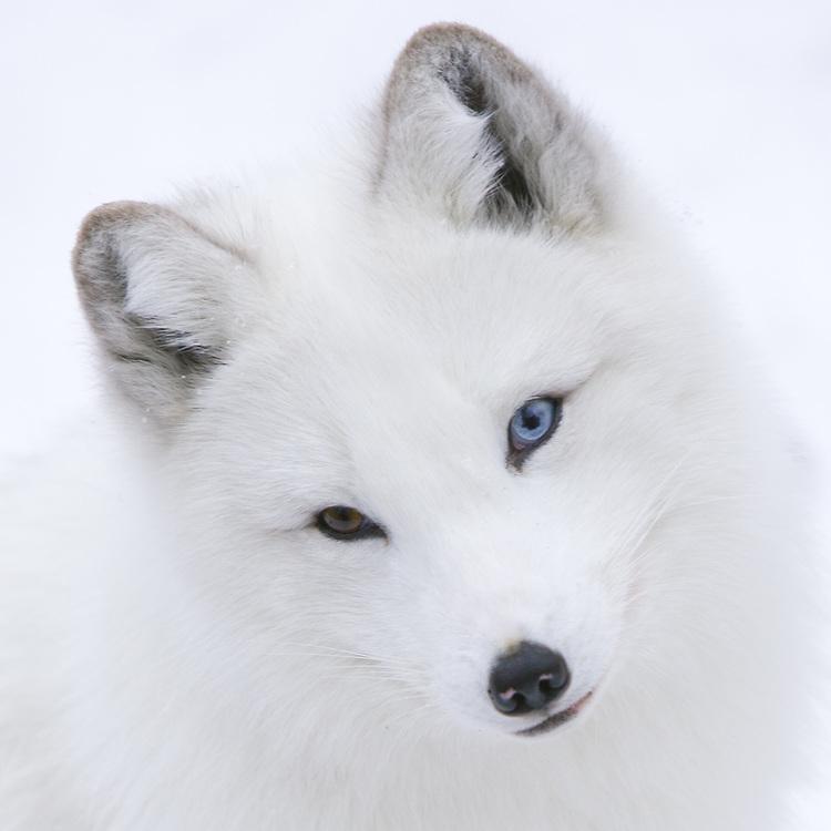 Arctic Fox - CA