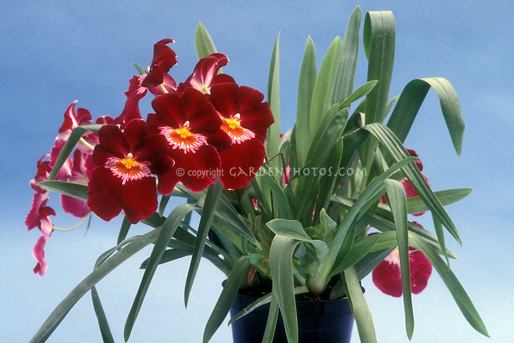 Miltoniopsis Miltonia Jean Sabourin 'Vulcain', AM/AOS showing entire plant habit with red flowers, in pot, Orchid hybrid, Pansy Orchid, Milt., Mltps.