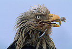 Close-up of a bald eagle with a hook through it's beak.
