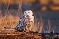 Immature Snowy Owl (Bubo scandiacus) in early morning light resting on a drift wood log. Grays Harbor County, Washington. December.