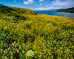 Mustard, Rodeo Cove, Golden Gate National Recreation Area, Marin County, California
