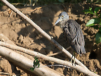 A juvenile yellow-crowned night heron shows rare signs of life during daylight hours.