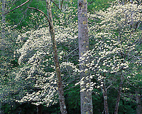Dogwood tree in bloom; Panther State Forest, WV