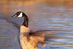 Canada goose, George C. Reifel Migratory Bird Sanctuary, British Columbia, Canada