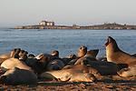 Elephant seals at Ano Nuevo SR Northern elephant seals