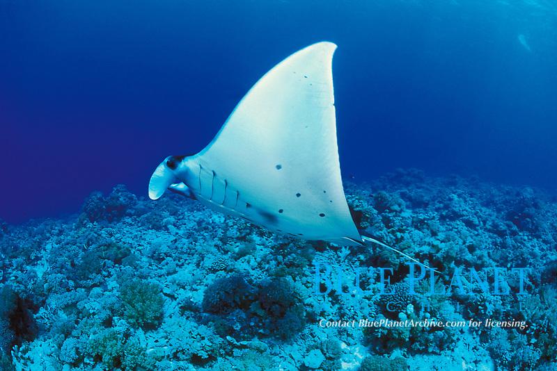reef manta ray, Mobula alfredi, swims across an Indo-Pacific Ocean coral reef, Layang Layang atoll, Sabah, Malaysia (South China Sea)