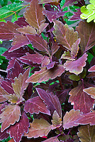 ColorBlaze® Marooned™<br /> Coleus<br /> Solenostemon scutellarioides, dark red purple foliage, Proven Winners, annual plant. Deep ,velvety, maroon foliage on well-branched plants.  Sun to shade tolerant and great in both landscapes and containers.