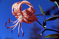 Tiger Lily aka Columbia Lily (Lilium columbianum), Orange Wild Flower blooming in Spring