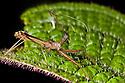 Assasin Bug {Reduviidae} Masoala Peninsula National Park, north east Madagascar.