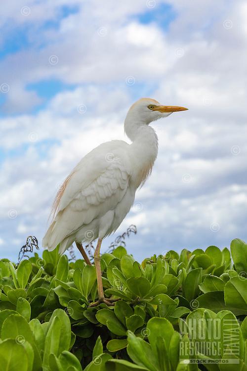 A cattle egret on naupaka by the beach walk in Wailea, Maui.