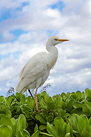 A cattle egret on naupaka by the beach walk in Wailea, Maui.