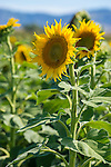 Field of Sunflowers in New England region of NSW, Australia