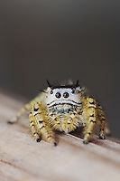 Unknown Jumping Spider, Salticidae, adult, New Braunfels, Hill Country, Texas, USA