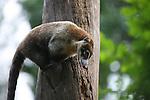 Coatimundi or Coati at the Belize Zoo