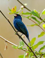Adult male idigo bunting in breeding plumage singing