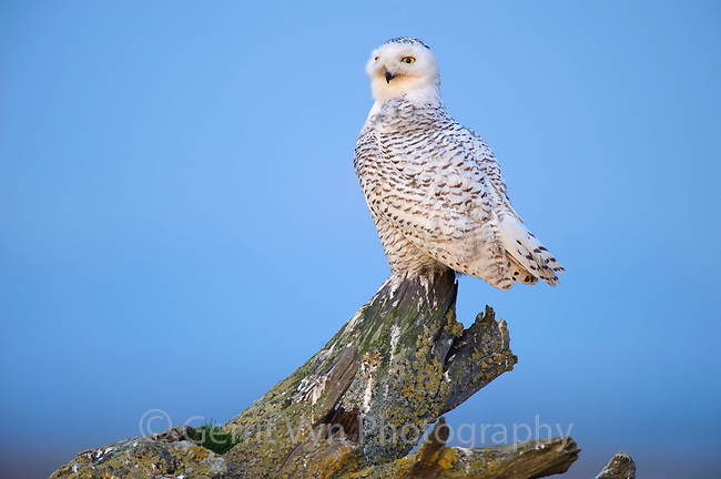 Snowy Owl (Bubo scandiacus) beginning its evening hunt of shorebirds and waterfowl on the shores of a coastal estuary. Boundary Bay, Canada. March.