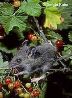 MU50-085z   Deer Mouse - young eating berries - Peromyscus maniculatus