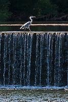 Europe/Europe/France/Midi-Pyrénées/46/Lot/Douelle: Héron gris en pêche à la chute de l'écluse de Douelle sur la vallée du Lot
