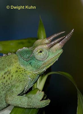 CH35-546z  Male Jackson's Chameleon or Three-horned Chameleon, close-up of face, eyes and three horns, Chamaeleo jacksonii
