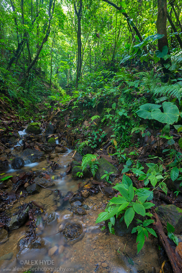 A rainforest stream, habitat of the Golfodulcean Poison Frog {Phyllobates vittatus}. Osa Peninsula, Costa Rica. May.
