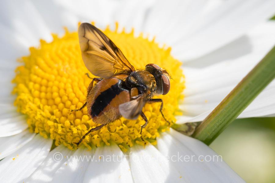 Breitflügelige Raupenfliege, Breitflüglige Raupenfliege, Männchen, Blütenbesuch auf Margerite, Ectophasia crassipennis, Tachinid Fly, male, Tachina fly, Tachinidae, Raupenfliegen, Igelfliegen, Schmarotzerfliegen, tachinids, parasitic flies