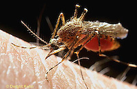 MQ04-003z  Mosquito - female biting a human, body filling with blood - Coquillettidia perturbans