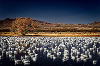 A flock of hundreds of Snow Geese, Ross's Geese, and Light Geese float placidly on the Chupadera Crane Pond at Bosque del Apache National Wildlife Refuge in south central New Mexico.