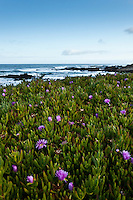 According to the California State Parks Department there are three similar species of plants around Pigeon Point Lighthouse: Ice Plant, Sea Fig and Hottentot Fig.  These non-native invaders were on a bluff just north of the lighthouse, blooming on a cool spring morning.