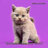 Xavier, ANIMALS, REALISTISCHE TIERE, ANIMALES REALISTICOS, cats, photos+++++,SPCHCATS865,#a#, EVERYDAY
