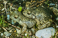 Gewöhnliche Geburtshelferkröte, Nördliche Geburtshelferkröte, Paarung, Kröte, Kröten, Alytes obstetricans, common midwife toad, with eggs, spawn, toads