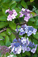 Hydrangea pink and blue together macrophylla lacecap type, two colors on the same bush shrub showing acid and alkaline soil