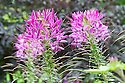 Cleome hassleriana 'Violet Queen', mid August.