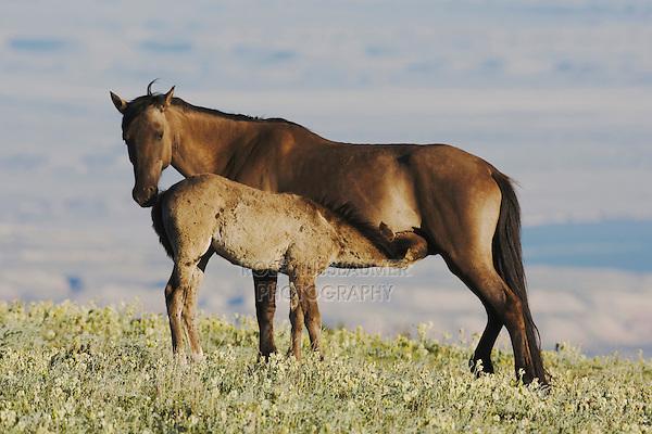 Mustang Horse (Equus caballus), mare and colt nursing, Pryor Mountain Wild Horse Range, Montana, USA