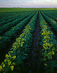 LaSalle County, IL<br /> Rows of soy beans and distant farms