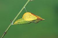 Zitronenfalter, Zitronen-Falter, Puppe, Puppenstadium, Gonepteryx rhamni, brimstone, brimstone butterfly, pupa, pupae