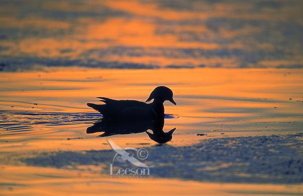 Wood Duck drake moving through ice at sunset.. British Columbia, Canada..(Aix sponsa).