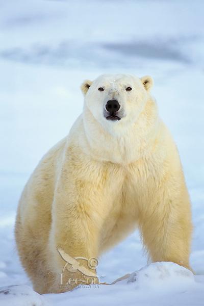 Polar bear (Ursus maritimus) male