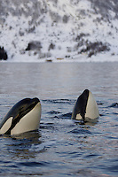 Two Spyhopping  Killer whale calves, Orcinus orca, Tysfjord, Arctic Norway, North Atlantic