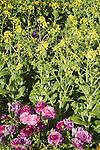 BRASSICA RAPA 'CANTON DWARF TYPE', PAK CHOY, FLOWERS BY RANUNCULUS