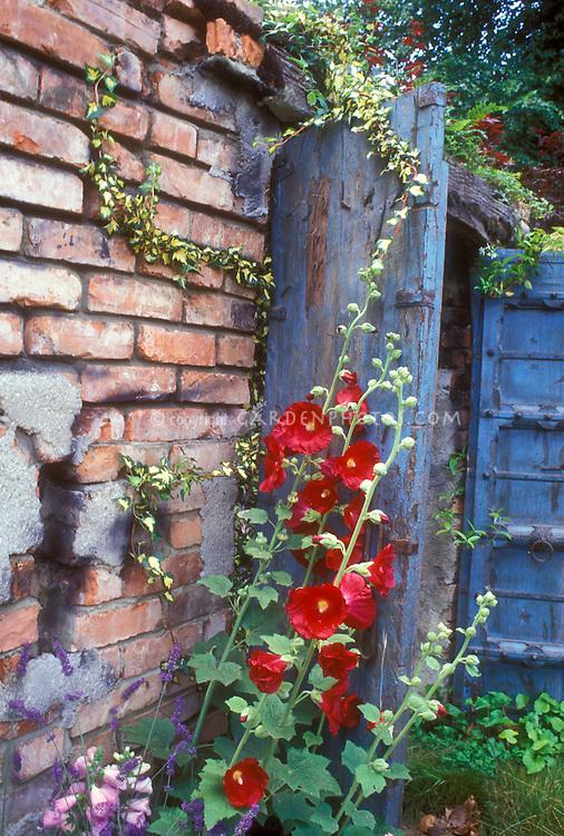 Red hollyhocks against blue door and brick wall Alcea rosea in summer bloom
